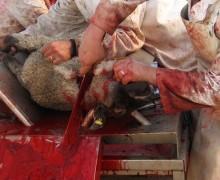 sacrifices-d-animaux