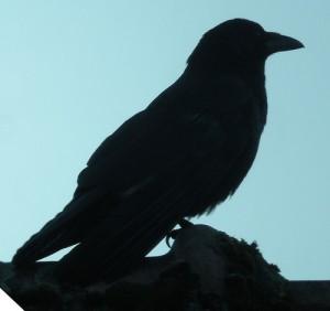 corbeau-raven