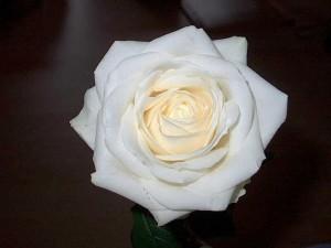 rose-blanche-purete