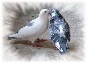 pigeons-fidelite