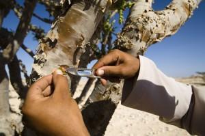wadi-arbre-a-encens-oman