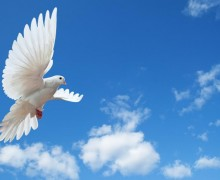 colombe-vol
