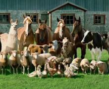 animaux-ferme