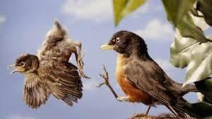 oiseau-hor-du-nid