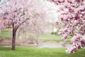 printemps-magnolias